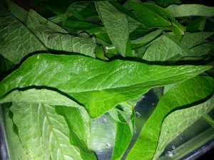 Comfrey leaves laying flat to dry.