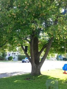 My awesome Linden Tree